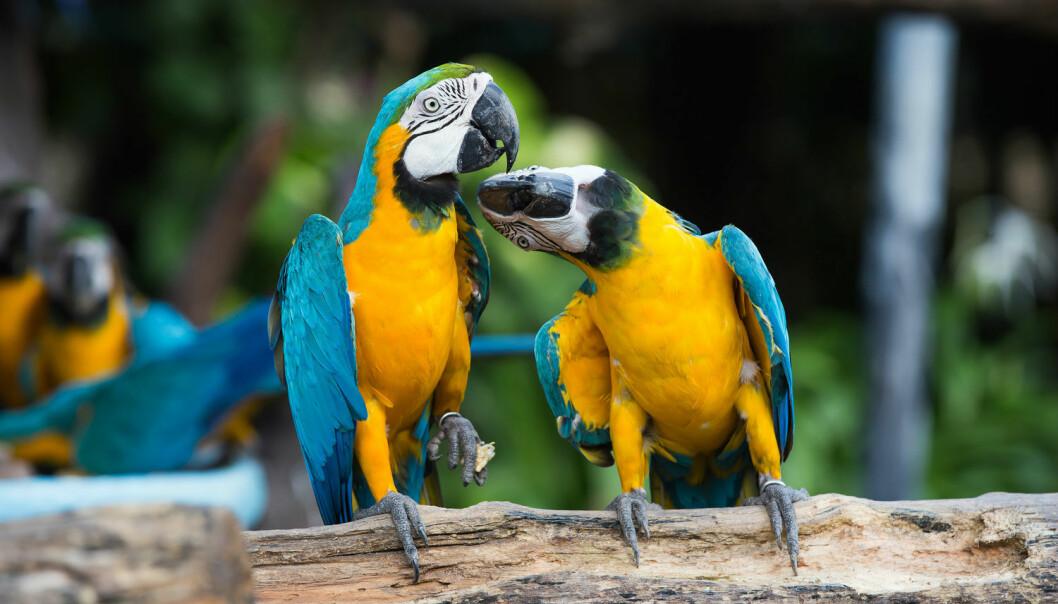 Papegøyen kan ha en hjerne på størrelse med en valnøtt uten skall. Likevel har den flere hjerneceller i den fremste delen av hjernen, som knyttes til blant annet intelligens.  (Foto: Only background / Shutterstock / NTB scanpix)