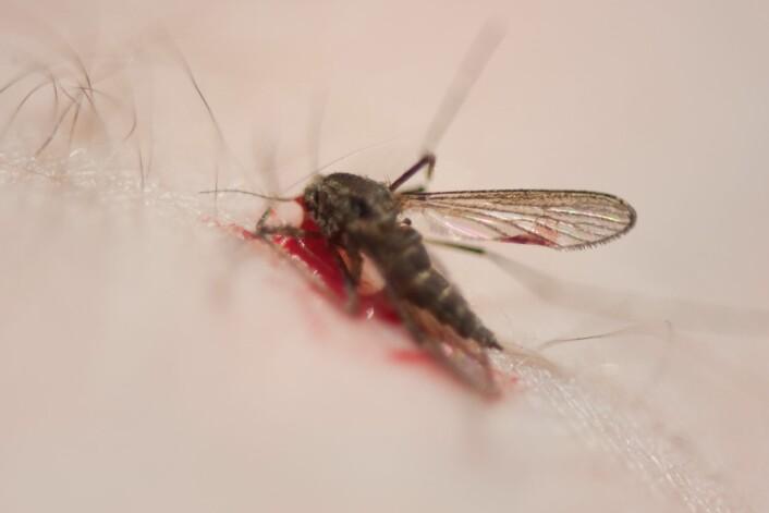 Stikkmygg etterlater seg kløende stikk. I sommer skal forskere fra NINA kartlegge stikkmygg i Nord-Norge. (Foto: Arnstein Staverløkk, NINA)