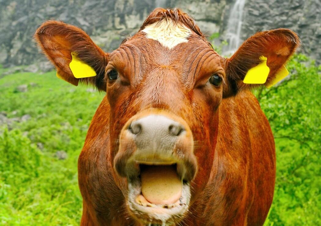 Husdyrhold står for 72 prosent av utslippene fra landbruket, ikke under halvparten, ifølge Faktisk.no. (Foto: Ratikova / Shutterstock / NTB scanpix)