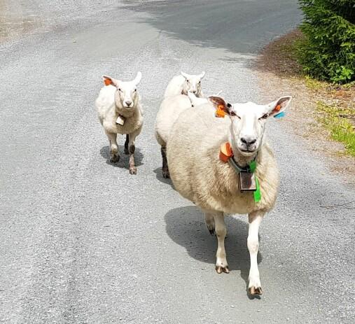 bdb53595 Hvor plagsomt er det for sauen å gå med ei bjelle rundt halsen hele  sommeren?