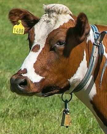 Også kua får bjeller på om sommeren. Det finnes heller ikke norsk forskning på hvordan kua reagerer på å gå i konstant bjellelyd. (Foto: Shutterstock/Scanpix)