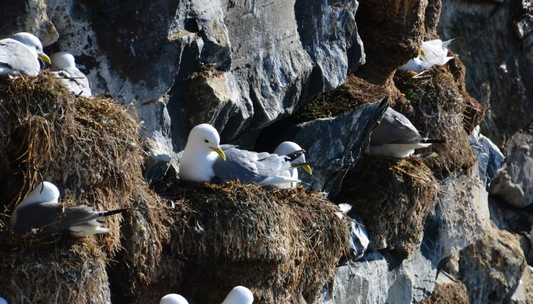 Lange flyturer for å finne mat gjør det vanskeligere for krykkja å overleve som art. Her i fuglefjellet på Hornøya er antall krykkjer halvert på ti år. (Foto: Helge M. Markusson, Framsenteret)