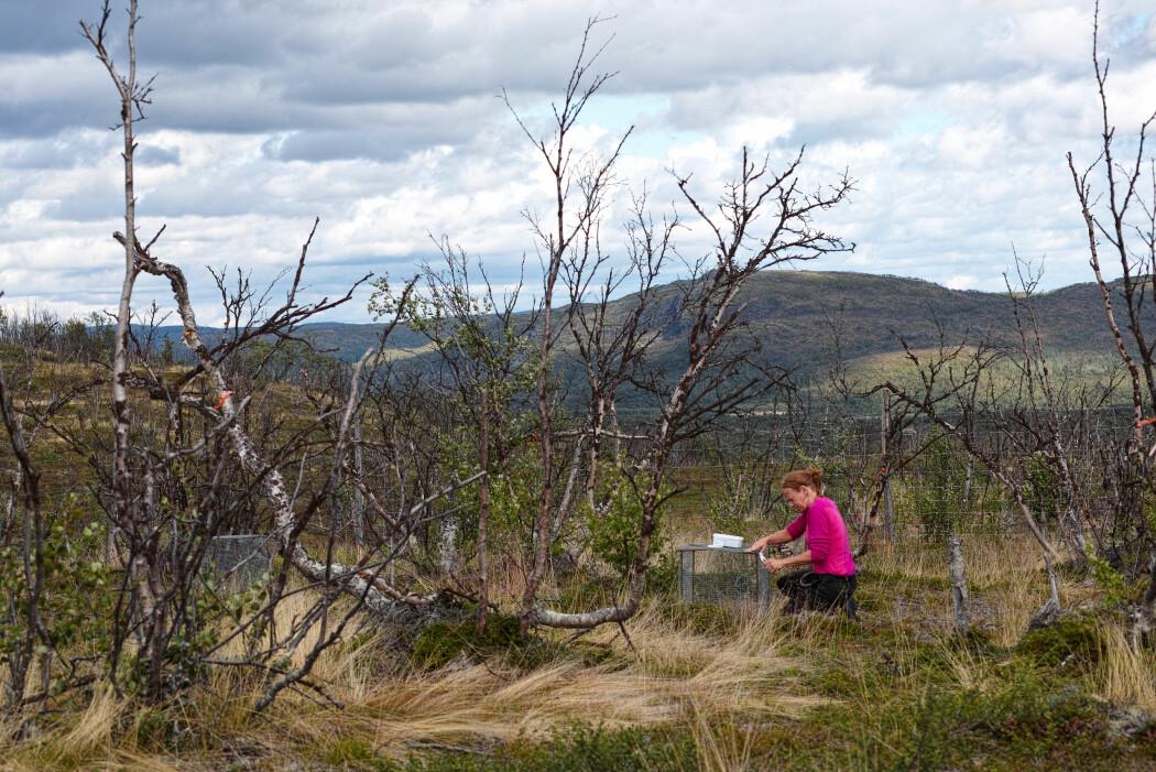 Her setter økolog Jane Uhd Jepsen opp et bur som brukes til å stenge ute smågnagere, slik at forskerne kan studere hvilken effekt gnagere har på bakkevegetasjonen etter utbrudd. (Foto: Jakob Iglhaut).