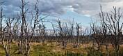 Sultne sommerfugllarver spiser opp skogen i nord. Påvirker rein, biller, rype, blåbær og mennesker