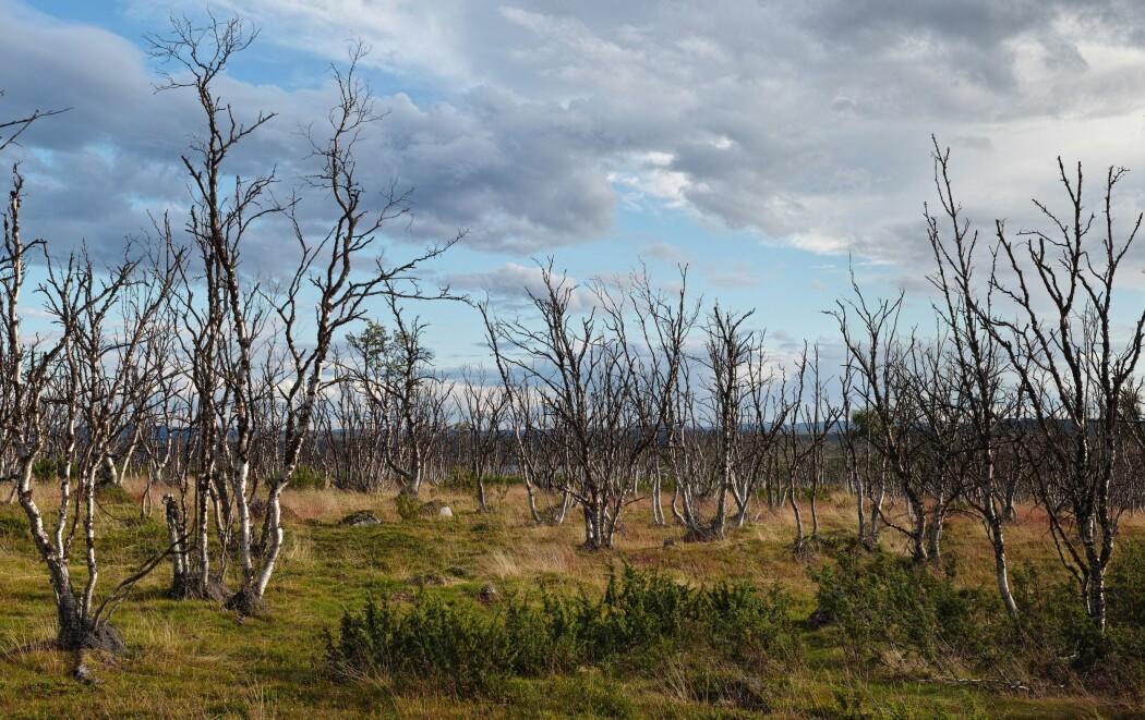 I store områder rundt Varangerfjorden i Øst-Finnmark er bjørkeskogen død som resultat av klimaendringer. (Foto: Jako Iglhaut).