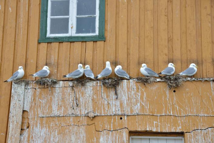 Krykkjene slår seg ofte til på naturlige utspring når den hekker på hus. (Foto: Svein-Håkon Lorentsen)