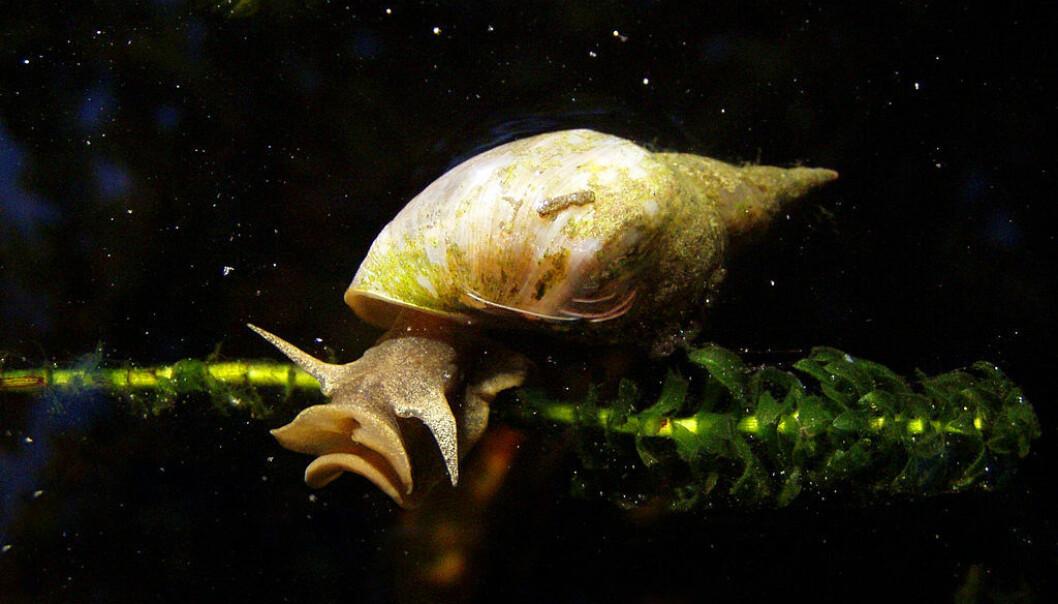 Denne sneglen tar viktige beslutninger om den skal spise eller ikke med to hjerneceller. (Foto: Rex/Offentlig eiendom)