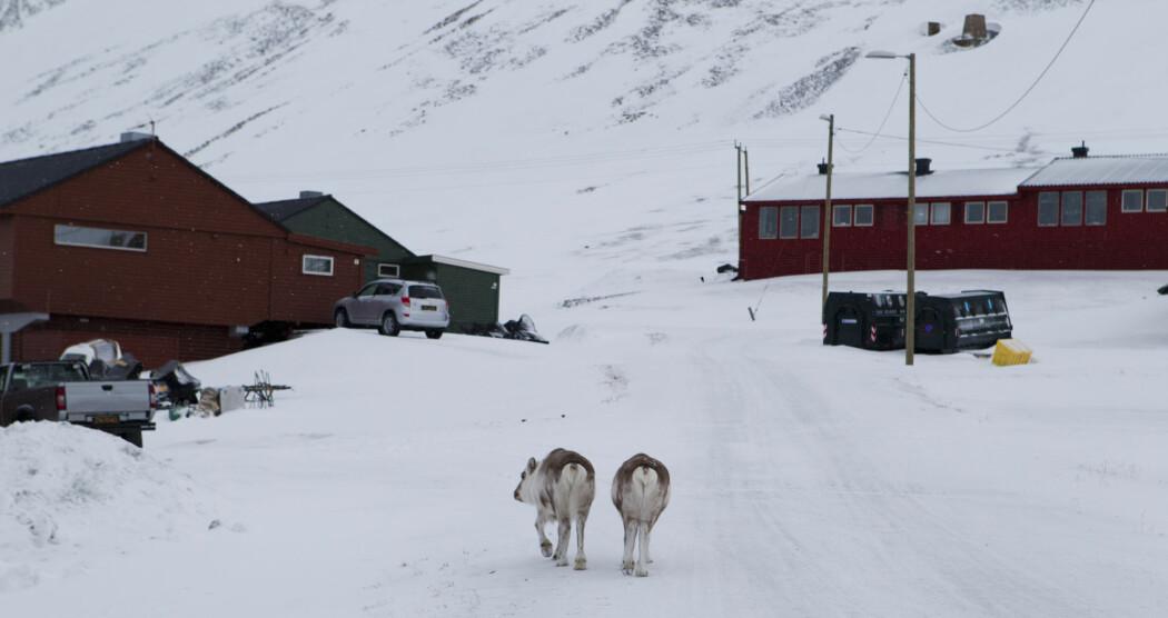 Regn som frøs på bakken sist vinter førte til at mange reinsdyr på Svalbard sultet i hjel. (Arkivfoto: Berit Roald / NTB scanpix)