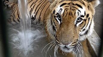 Tigerbestanden i India i vekst