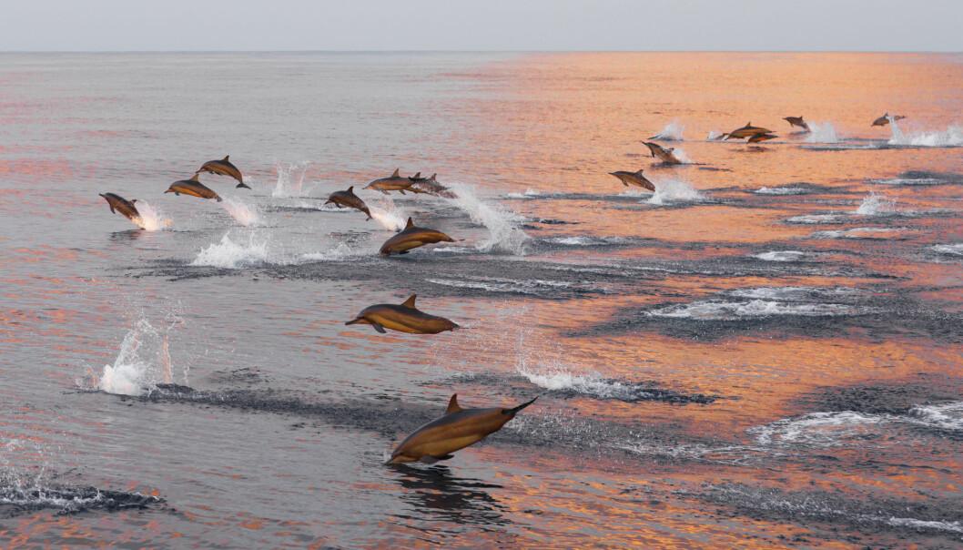 Delfiner er sosiale dyr og lever i grupper som kan variere i størrelse og sammensetning. (Foto: lena2016 / Shutterstock / NTB scanpix)