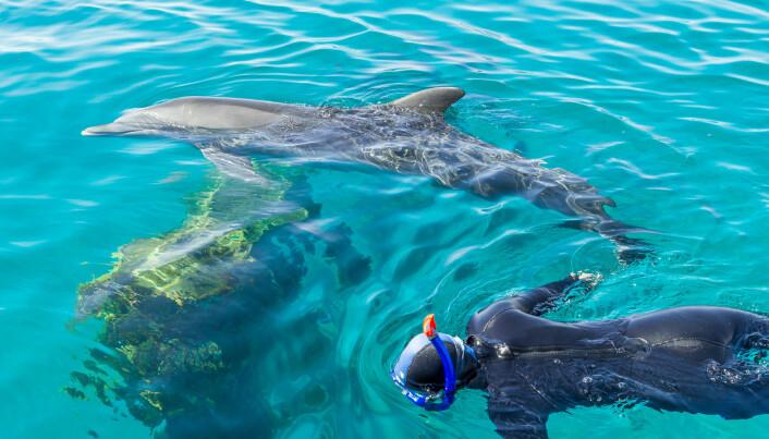 Det har skjedd at delfiner redder mennesker som svømmer. Men å svømme med ville delfiner kan være farlig om delfinene blir irriterte. (Foto: Alexey Smolyanyy / Shutterstock / NTB scanpix)