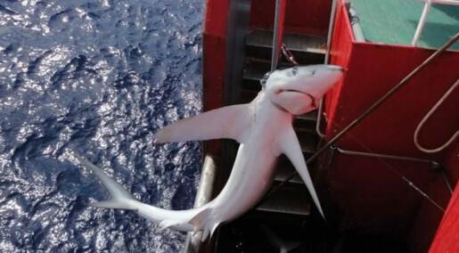 Hai får ikke være i fred fra fiskere