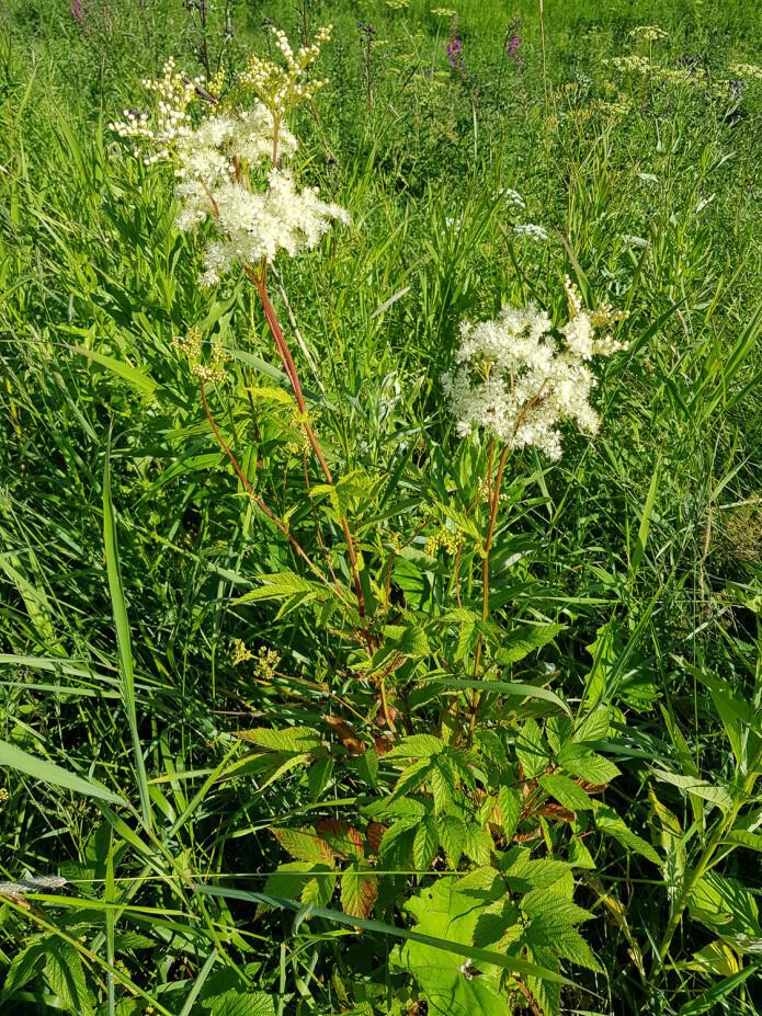 Mjødurt er høyvokst og har massevis av hvite blomster samlet tett i toppen. Foto: Magni Olsen Kyrkjeeide