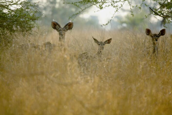 Tre impalaer i nasjonalparken Gorongosa i Mosambik. (Foto: Science Photo Library, NTB scanpix)