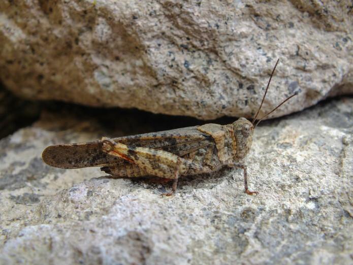 Gresshoppen <i>Trimerotropis pallidipennis</i> er utbredt i tørre strøk i Nord- og Sør-Amerika. Akkurat nå har den invadert Las Vegas. (Foto: Shutterstock)