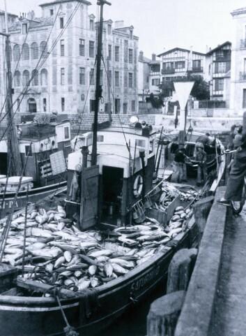 Tunfisk, eller makrellstørje, levde tidligere i hele Atlanterhavet, men overfiske har gjort at arten i dag er truet. (Foto: Science Photo Library)