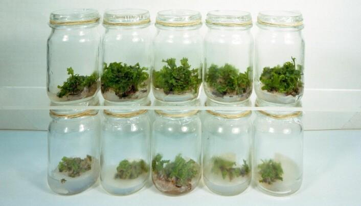 Enkelte plantearter vokste bedre på månestøvet enn i vanlig jord. (Foto: NASA)