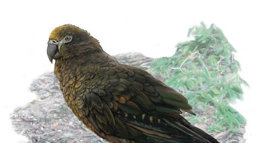 Denne kjempepapegøyen var en meter høy og levde på New Zealand