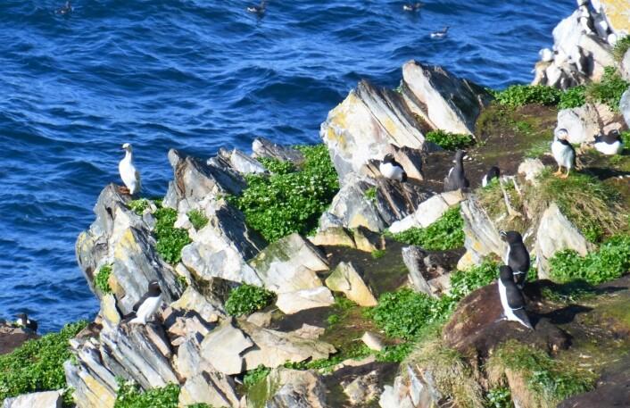 En sjeldenhet: en hvit lomvi. Til venstre på berget. (Foto: Helge M. Markusson, Framsenteret)