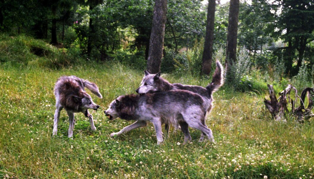 Prioriteringen av rovdyr i visse områder har resultert i at sauedriften flyttes vestover i landet. Det er likevel ikke meldt om noen nedgang i norsk sauebestand. (Foto: Berit Keilen/NTB Scanpix.)