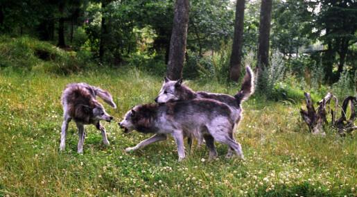 Kronikk: Grunnløse anklager om at ulveforsker trikser med tallene
