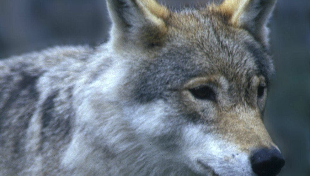Den svenske ulvebestanden har gått ned fra 415 til 340 individer.  (Foto: Per Løchen/NTB scanpix.)