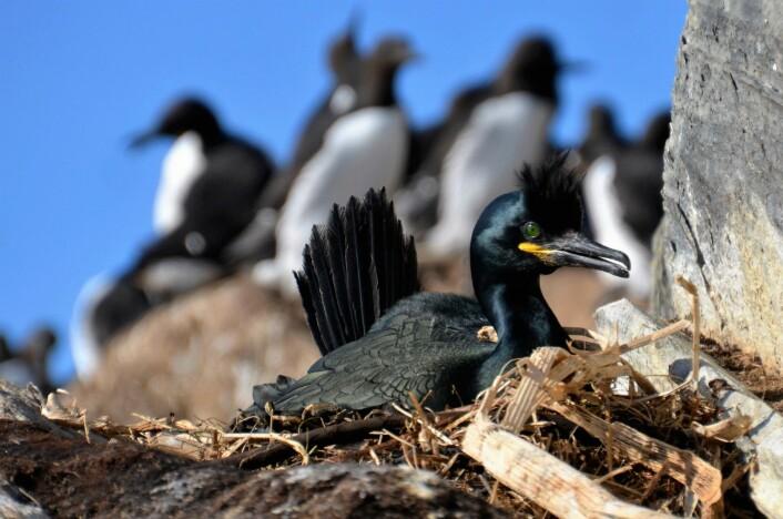 Toppskarven er en av fugleartene publikum vil stifte nært bekjentskap med i fem sommeruker. (Foto: Helge M. Markusson, Framsenteret)