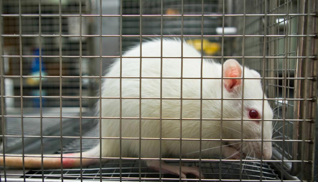 Etter å ha utsatt rotter for mobilstråling i en toårsperiode fant forskerne at noen av hannrottene utviklet sjeldne hjerne- og hjertekreftsvulster.  (Illustrasjonsfoto: ibreakstock/Shutterstock/NTB scanpix.)