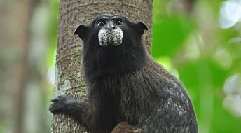 Slik kan aper hjelpe regnskogen