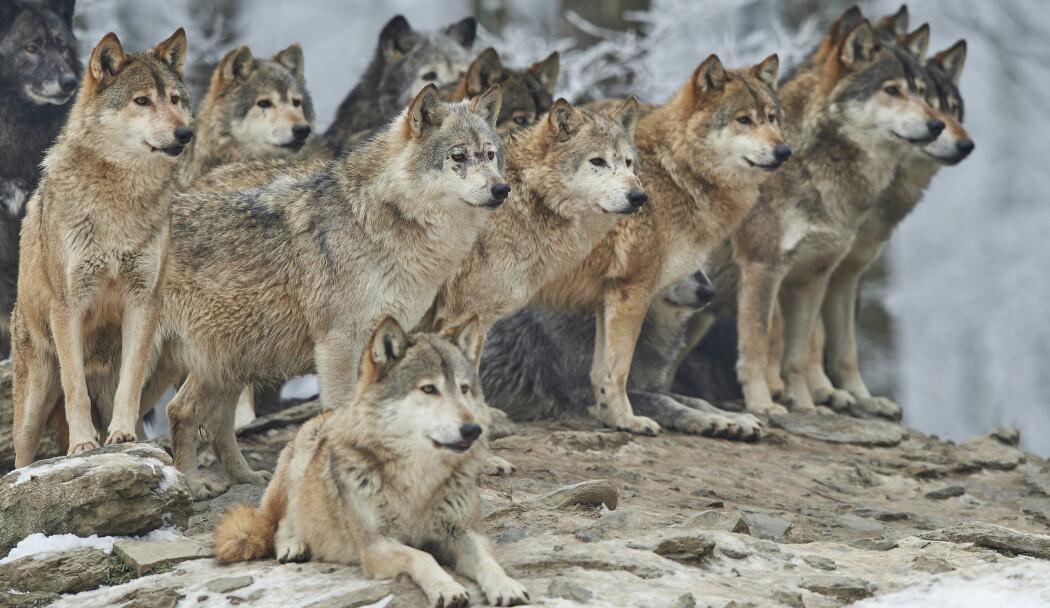 Mennesket har i tusener av år latt seg fascinere og skremme av ulven. (Illustrasjon: Michael Roeder / Shutterstock / NTB scanpix)