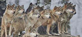 Hvordan kan hundre ulver skape så mye konflikt?