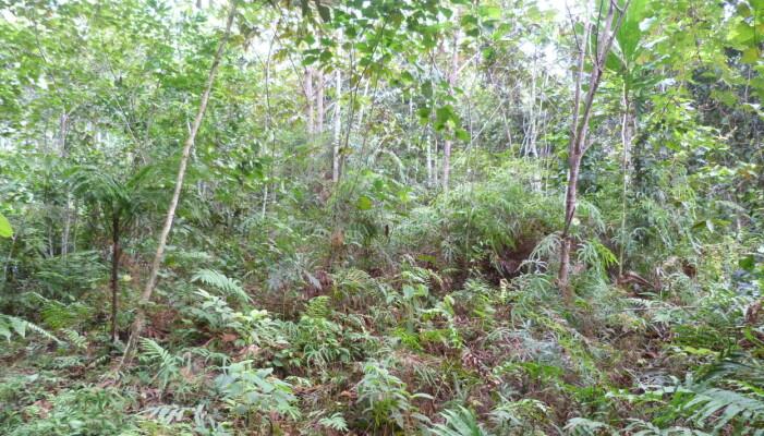 Slik ser den nye skogen ut før den har vokst seg ordentlig stor. (Foto: Eckhard W. Heymann)