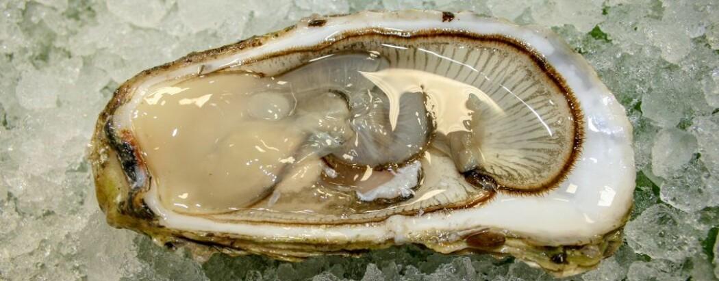 Stillehavsøsters er en fremmed og uønsket art i Norge. Når en slik gyter kan den slippe opptil 200 millioner egg i havet. Arten har derfor et enormt reproduksjonspotensial, med svært høy økologisk risiko. (Foto: Sigurd Øines, Nofima)