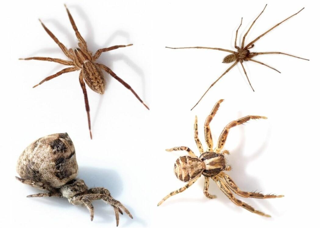 Det finnes mange ulike edderkopper her i Norge. Her er et lite utvalg. Øverst f.v.: Lys katteedderkopp (<i>Zora spinimana</i>) og Stor husedderkopp (<i>Eratigena atrica</i>). Nederst f.v.: Skogtrekantspinner (<i>Hypiotes paradoxus) </i>og<i> </i>Feltkrabbeedderkopp (<i>Xysticus cristatus</i>). (Bilder: Glenn Halvor Morka, CC BY 4.0. Montasje utarbeidet av forskning.no)