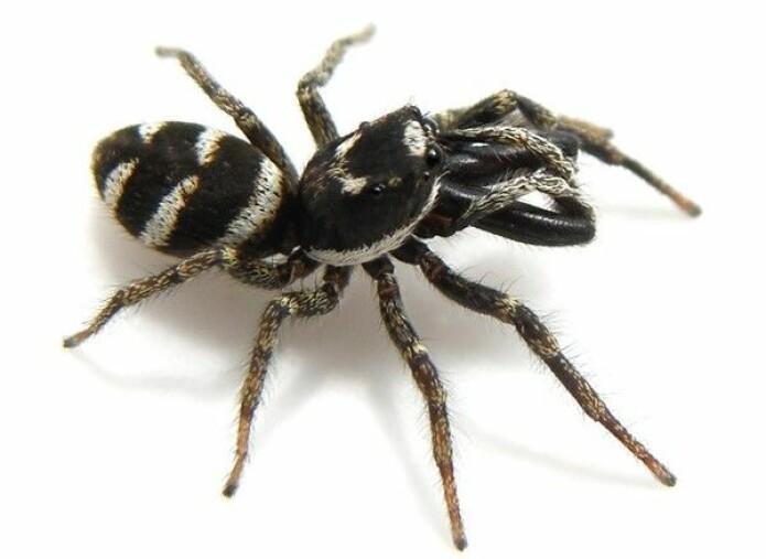 Sebrahopper <i>Salticus scenicus</i> lever gjerne på husveggen vår ute. Den spinner ikke nett, men fanger byttet ved å hoppe på det. (Foto: Glenn Halvor Morka / CC BY 4.0)