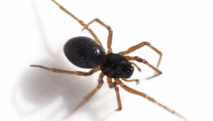 Den lille dvergedderkoppen svart taggedderkopp <i>Erigone atra</i><i> </i>er ekspert på å fly langt via såkalt «ballooning». (Foto: Glenn Halvor Morka / CC BY 4.0)