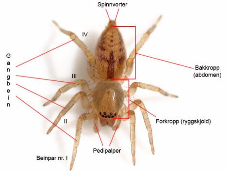 Hvor Mange Ben Har En Edderkopp