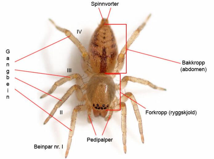 Dette illustrasjonsbildet viser betegnelsene på de ulike kroppsdelene til edderkopper. (Illustrasjon: Foto: Glenn Halvor Morka / CC BY 4.0. Tekst: Kjetil Åkra)