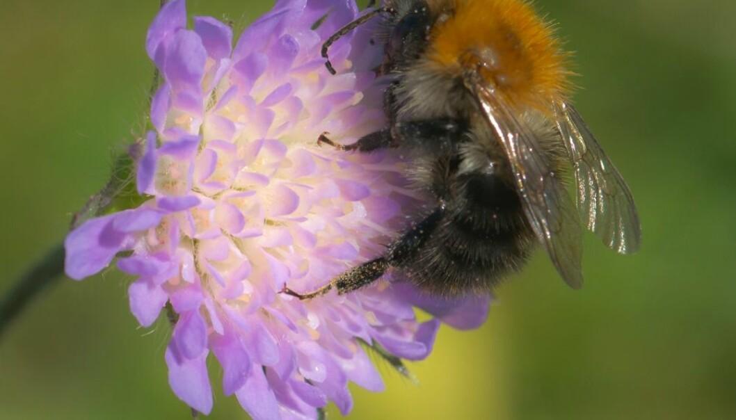 Humlene forsvant nesten helt i de områdene hvor svenske forskere satte ut honningbier. – Det bør bli bedre regulering av hvor mange som kan drive med honningbier i et område, mener norsk forsker.  (Foto: Ove Bergersen, scanpix)