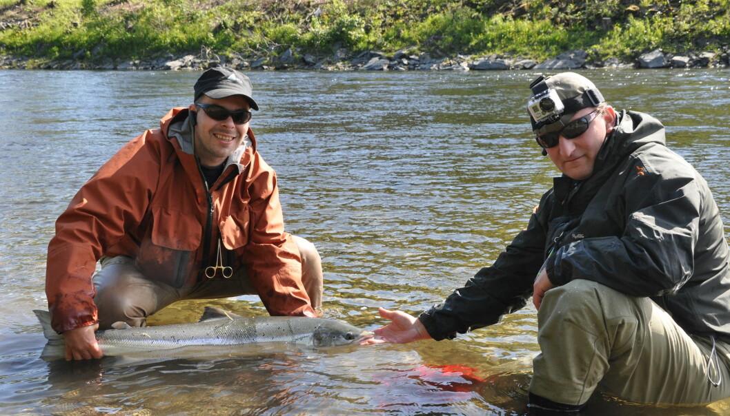 Trondheimsfjordelvene har tapt fiskere og relativt sett også andeler av laksefiske i Norge. Likevel er dette fortsatt det viktigste laksefiskeområdet i Norge. Her landes en fisk i Verdalselva. (Foto: Stian Stensland)