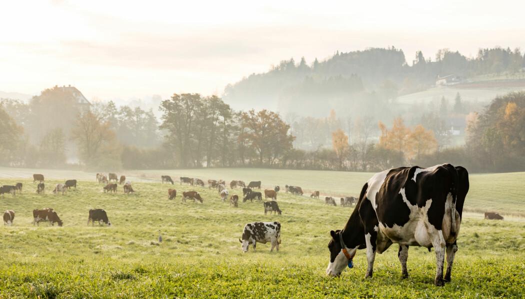 Kjøttproduksjon med kyr er en klimaversting. (Foto: Fredy Thuerig, Shutterstock, NTB scanpix)