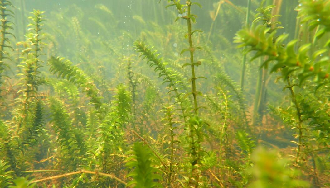 Vasspest (Elodea canadensis) er en plante som vokser helt under vann. Arten anses som fremmed i norsk natur og kan ha negativ påvirkning på det opprinnelige biologiske mangfoldet i innsjøen. Når vasspest først har etablert seg, er planten svært vanskelig å bli kvitt, og det er derfor viktig å unngå videre spredning. (Foto: Benoit Demars/NIVA)