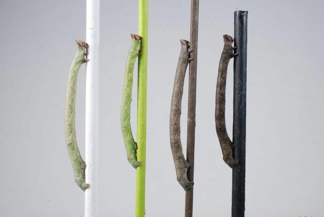 Hvordan vet larven til bjørkelurvemåleren (<i>Biston betularia</i>) hvilken farge den skal ha? Den bruker i alle fall ikke øynene, ifølge en ny studie. (Foto: Arjen van't Hof / University of Liverpool)