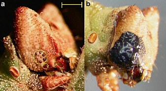 Til venstre ser du øynene til larven. Til høyre ser du larven etter øynene dens er blitt malt over. (Foto: Eacock mfl. / <i>Nature Communications Biology</i>)
