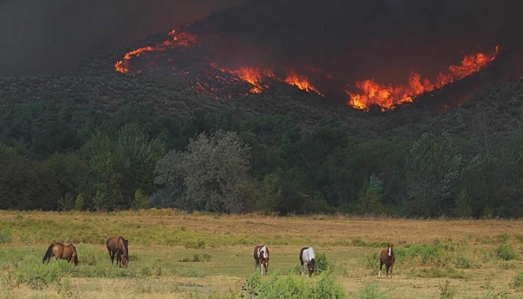 Det brant i skogene i Okanogan i Washington State i 2015. Mange landsbyer måtte evakueres og 1250 brannmenn var med i arbeidet med å få kontroll over flammene.  (Foto: Tom Reichner / Shutterstock / NTB scanpix)