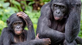 Kan aper bli like smarte som oss i framtiden?