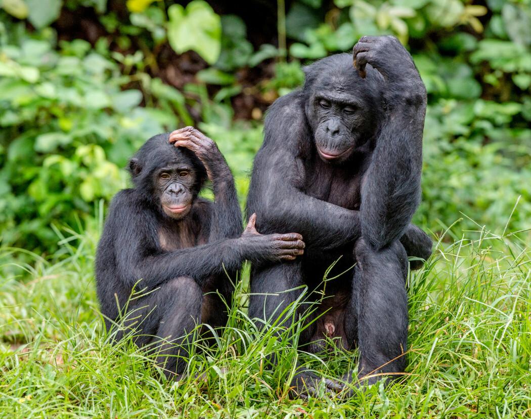 Bonoboen er, sammen med sjimpansen, menneskets nærmeste nålevende slektning. (Foto: Sergey Uryadnikov / Shutterstock / NTB scanpix)