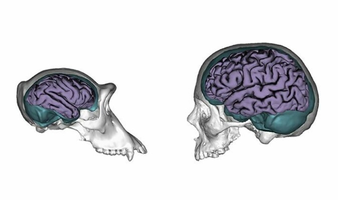Menneskehjernen er ikke bare større enn sjimpansens. Den utvikler seg også langsommere, og det gir bedre muligheter for å tilpasse seg og lære nye ferdigheter, forklarer Michael Winterdahl. Her en 3D-modell av en sjimpansehjerne og en menneskehjerne. (Illustrasjon: Jose Manual de la Cuetara/Aida Gomez-Robles)
