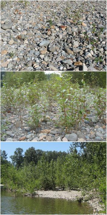 Det er temmelig lite nitrogen i grunnen der disse poplene vokser opp, ved bredden av Snoqualmie River. Men trærne får hjelp av bakterier til å skaffe seg stoffet. Bildene ble tatt i 2002, 2006 and 2015. (Foto: Sharon L. Doty)