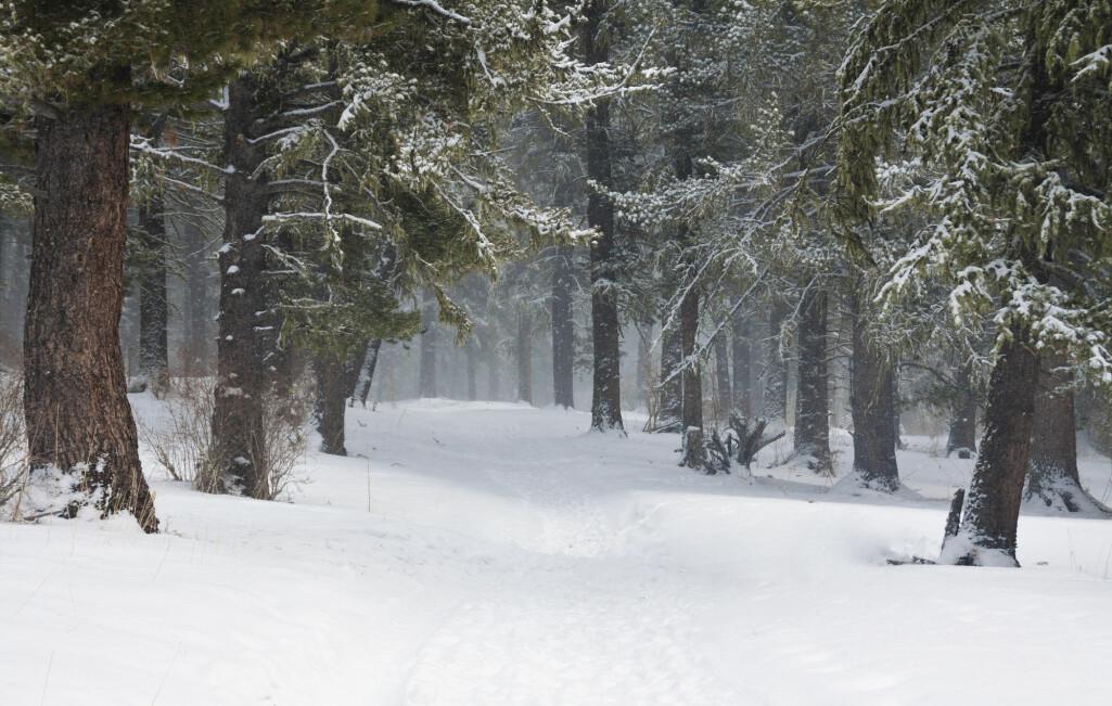 Den boreale skogen utgjør en tredjedel av verdens arealer med trær, men holder på 60 prosent av alt karbon som er lagret i skog. (Foto: Sunny_nsk / Shutterstock / NTB scanpix)